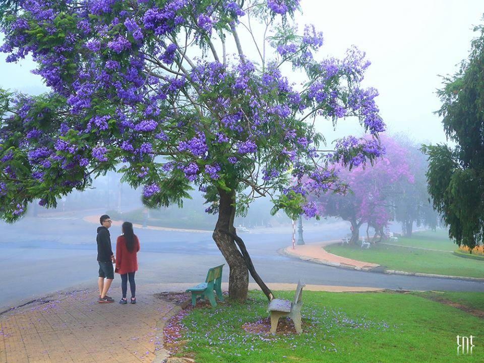 Đẹp ngất ngây mùa hoa phượng tím Đà Lạt - Dalat24h